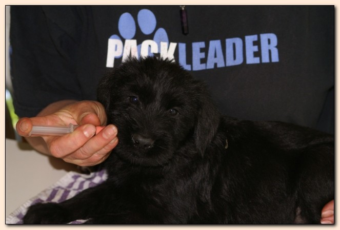 Our Giant Schnauzer puppy gets worming her under the supervision of the Pack Leader